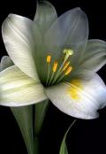 "Book cover ""Цветок лилии"""