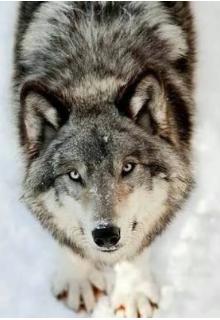 """Libro. """"El lobo"""" Leer online"""